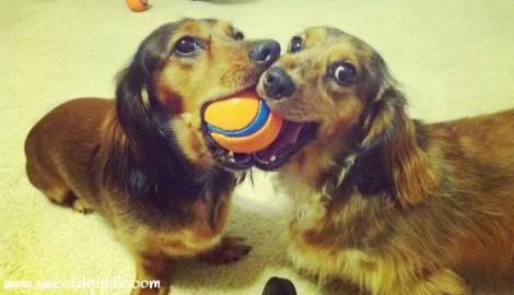 long-haired dachshunds